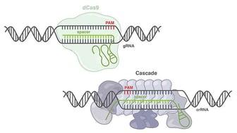 CRISPR Class 1