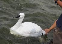robot swans