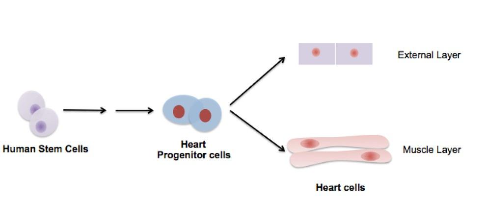 stem cells external layer human heart